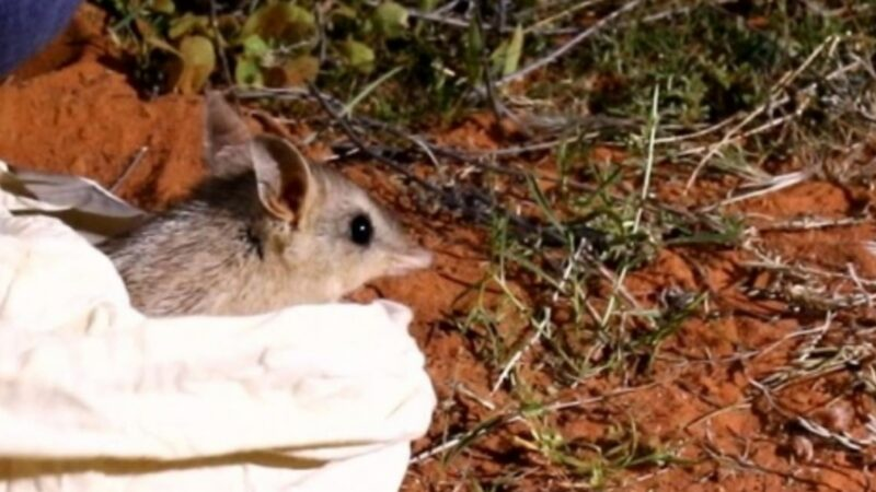 Bandicoots Return to Australian National Park After Being Locally Extinct For More Than a Century